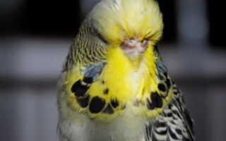 Болезни волнистого попугая и как лечить