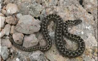 Крымские змеи фото