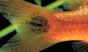 Аргулез карпоед рыб: лечение в аквариуме, фото-видео обзор