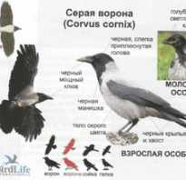 Вороны когда выводят птенцов