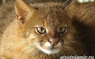 Пампасская кошка: 35+ фото, история открытия вида, содержание