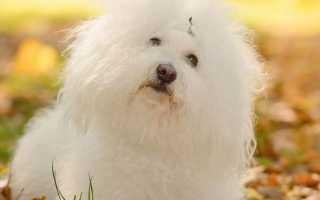 Болоньезе порода собак
