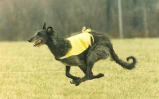 Описание породы собак Дирхаунд с отзывами владельцев и фото