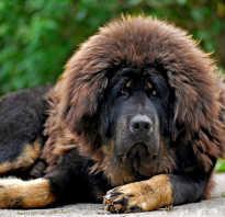 Мастиф собака фото