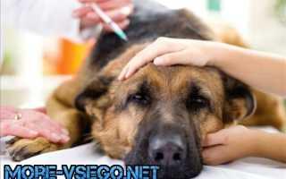 Собаку укусил клещ: симптомы и лечение в домашних условиях, что делать