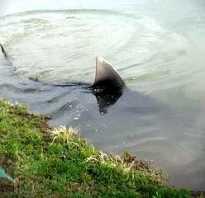 Речные акулы википедия