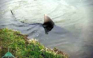 В каких озерах обитают акулы