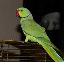 Сколько стоит ожереловый попугай в зоомагазине