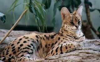 Сервал кошка описание породы и характера