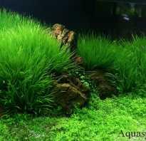 Бликса японская содержание в аквариуме, размножение, фото-видео обзор