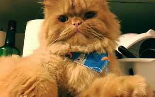 Породы рыжих котов: 11 самых красивых, их описание и особенности ухода