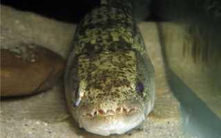 Рыба-волк траира или хоплиас малабарский: содержание, фото-видео обзор