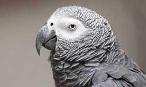 Самый умный попугай в мире — какие породы