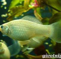 Аквариумные рыбки моллинезии фото