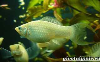 Моллинезия рыбка размер