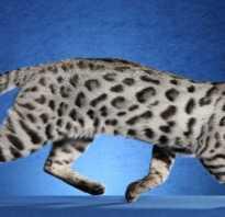 Ашера: порода кошки, которой нет, уход и питание, фото, цена