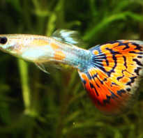 Самые неприхотливые и маленькие аквариумные рыбки с фото-видео обзор