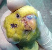 Нарост у попугая на роговице ростов