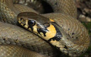 Змея уж чем опасен