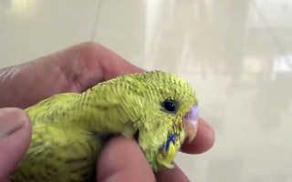 Насекомые у попугаев
