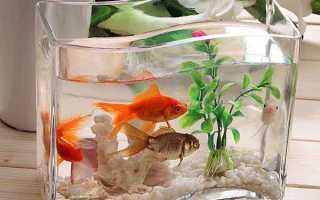 Манка у аквариумных рыб фото