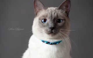 Как выглядит тайская кошка фото