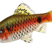 Алый барбус аквариумная рыбка