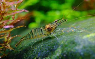 Все о креветках макробрахиум: содержание, виды, разведение, фото-видео обзор