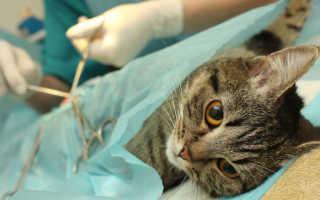 5 причин купирование или ампутации хвоста у кота: симптомы, как купируют, зачем коту хвост