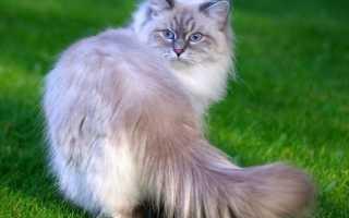 Невская маскарадная кошка: описание породы и характер