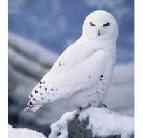 Животные арктики белая сова
