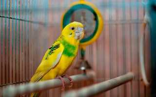 Трахейный клещ у волнистого попугая симптомы