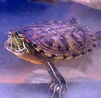 Особенности красноухой черепахи