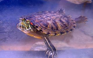 Характер красноухой черепахи