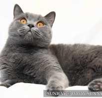 Котенок голубого окраса