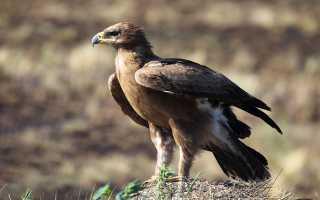 Орел в красной книге