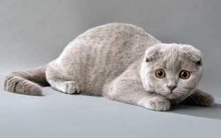 Во сколько можно сводить шотландскую кошку
