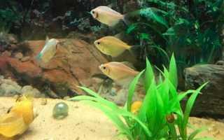 Тернеция аквариумная рыбка фото