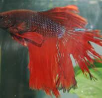 Псевдомоноз рыб: лечение в аквариуме, фото обзор