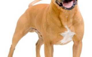 Питбуль собака характеристика породы отзывы