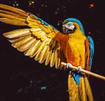 Попугай ара стоимость