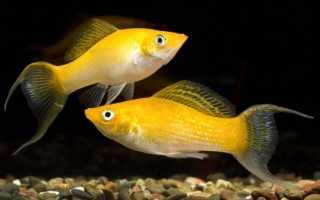 Моллинезия желтая или золотая: содержание, фото-видео обзор