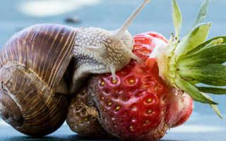 Чем питаются улитки в домашних условиях