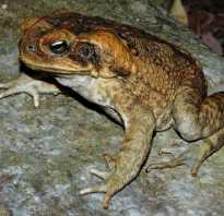 Тростниковая жаба среда обитания