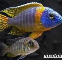 Аквариумные рыбки аулонокара