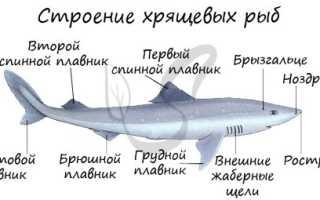 Акулы костные или хрящевые