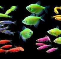 Светящиеся рыбки для аквариума фото
