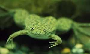 Аквариумные лягушки: уход, виды, содержание с рыбками