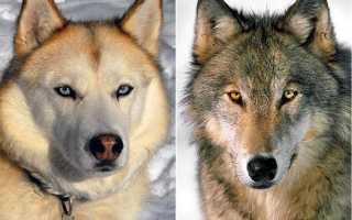 Откуда и как появились собаки: от кого произошли, история происхождения и гипотезы