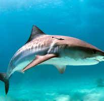 Данная акула встречается в тропических
